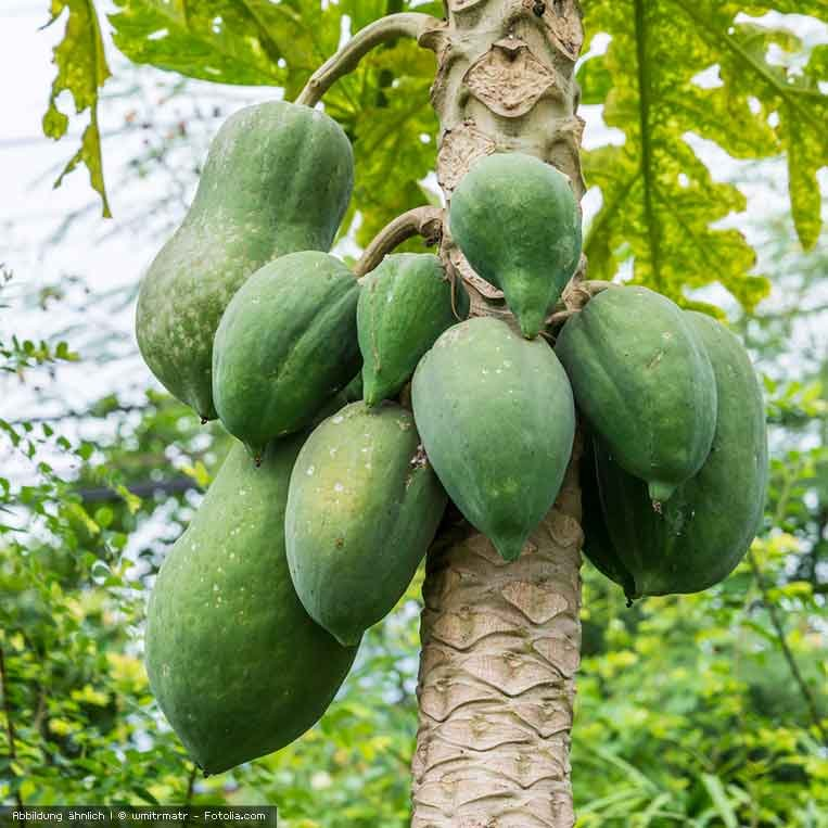 Papayas am Baum