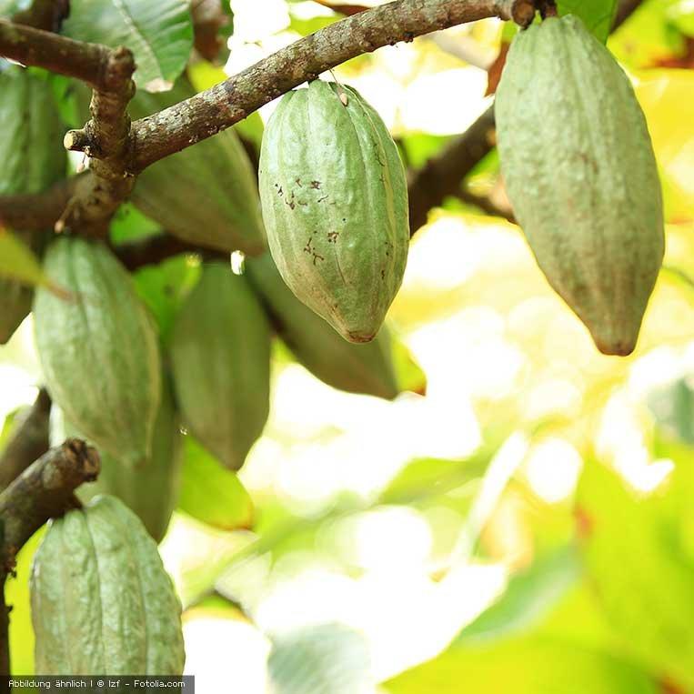 frische Kakaobohnen am Kakaobaum